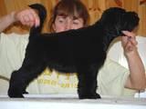 Собаки, щенки Черный терьер, цена 12000 Грн., Фото