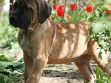Собаки, щенки Английский мастиф, цена 10000 Грн., Фото
