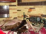 Собаки, щенята Стаффордширський бультер'єр, ціна 1300 Грн., Фото