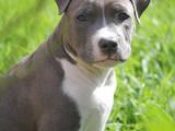 Собаки, щенки Стаффордширский бультерьер, цена 1600 Грн., Фото