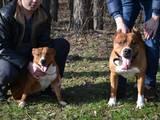 Собаки, щенки Стаффордширский бультерьер, цена 800 Грн., Фото