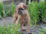 Собаки, щенки Бельгийский гриффон, цена 5000 Грн., Фото