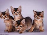 Кішки, кошенята Сомалі, ціна 4000 Грн., Фото