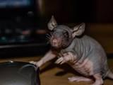 Грызуны Домашние крысы, цена 100 Грн., Фото