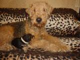 Собаки, щенята Ердельтер'єр, ціна 1000 Грн., Фото
