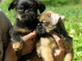 Собаки, щенки Бельгийский гриффон, цена 6000 Грн., Фото