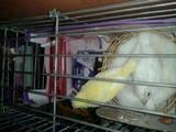 Папуги й птахи Канарки, ціна 200 Грн., Фото
