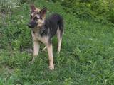 Собаки, щенки Восточно-Европейская овчарка, цена 4500 Грн., Фото