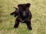 Собаки, щенята Східно-сибірська лайка, ціна 2400 Грн., Фото