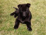 Собаки, щенки Восточно-Сибирская лайка, цена 2400 Грн., Фото