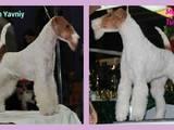 Собаки, щенята Жорсткошерстий фокстер'єр, ціна 10000 Грн., Фото
