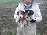 Собаки, щенята Жорсткошерстий фокстер'єр, ціна 1000 Грн., Фото