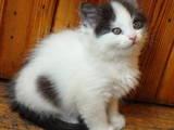 Кошки, котята Норвежская лесная, цена 100 Грн., Фото