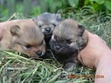 Собаки, щенята Померанський шпіц, ціна 3500 Грн., Фото