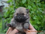Собаки, щенки Померанский шпиц, цена 3500 Грн., Фото