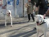 Собаки, щенята Бультер'єр, ціна 5500 Грн., Фото