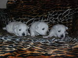 Собаки, щенки Вестхайленд уайт терьер, цена 10000 Грн., Фото