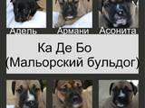 Собаки, щенки Мальоркский бульдог (Ка Де Бо), цена 5000 Грн., Фото