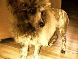 Собаки, щенки Той-пудель, цена 10 Грн., Фото