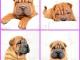Собаки, щенята Шарпей, ціна 8500 Грн., Фото