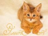 Кішки, кошенята Абіссінська, ціна 45000 Грн., Фото