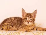 Кішки, кошенята Абіссінська, ціна 35000 Грн., Фото