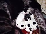 Собаки, щенята Німецька жорсткошерста лягава, ціна 3600 Грн., Фото