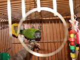 Папуги й птахи Папуги, ціна 3200 Грн., Фото