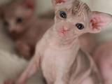 Кошки, котята Канадский сфинкс, цена 5500 Грн., Фото