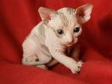 Кішки, кошенята Канадський сфінкс, ціна 5500 Грн., Фото