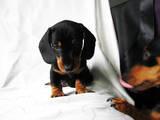 Собаки, щенята Гладкошерста мініатюрна такса, ціна 1400 Грн., Фото
