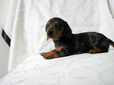 Собаки, щенки Гладкошерстная миниатюрная такса, цена 1400 Грн., Фото