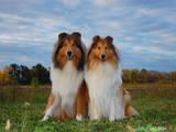 Собаки, щенята Довгошерстий коллі, ціна 3500 Грн., Фото