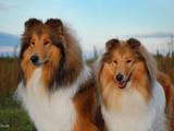 Собаки, щенки Длинношерстный колли, цена 3500 Грн., Фото
