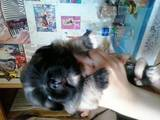 Собаки, щенята Пекінес, ціна 350 Грн., Фото