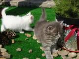 Кішки, кошенята Персидська, ціна 100 Грн., Фото