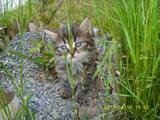 Кошки, котята Персидская, цена 100 Грн., Фото