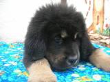 Собаки, щенята Тибетський мастиф, ціна 21000 Грн., Фото