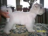 Собаки, щенки Вестхайленд уайт терьер, цена 350 Грн., Фото