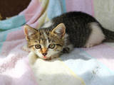 Кішки, кошенята Сибірська, Фото