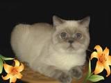 Кошки, котята Экзотическая короткошерстная, цена 900 Грн., Фото