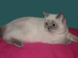 Кішки, кошенята Екзотична короткошерста, ціна 900 Грн., Фото