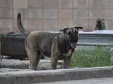 Собаки, щенки Мальоркский бульдог (Ка Де Бо), цена 10000 Грн., Фото