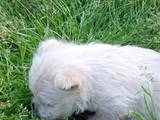 Собаки, щенята Скотчтерьер, ціна 1500 Грн., Фото