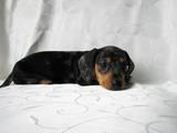 Собаки, щенки Гладкошерстная кроличья такса, цена 2500 Грн., Фото