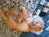 Кошки, котята Курильский бобтейл, цена 600 Грн., Фото