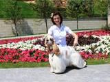 Собаки, щенки Американский коккер, цена 4000 Грн., Фото