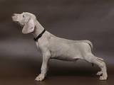 Собаки, щенки Веймарская легавая, цена 5500 Грн., Фото