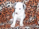 Собаки, щенята Далматин, ціна 800 Грн., Фото