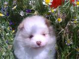 Собаки, щенки Померанский шпиц, цена 5000 Грн., Фото